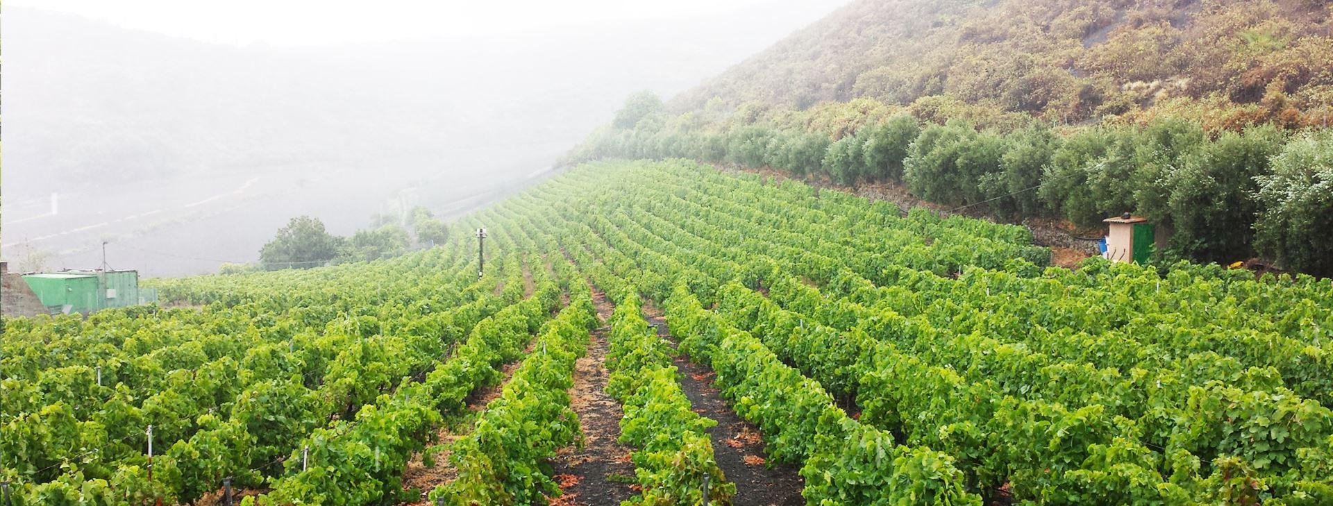 vinos-la-vica-masmediacanarias-bruma-2