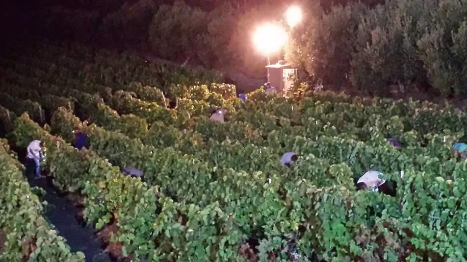 vinos-la-vica-masmediacanarias-elaboracion-3